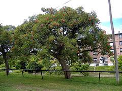 Arbol de la Ceiba, Amérique du Sud