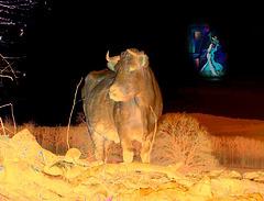 bull !!!!!!