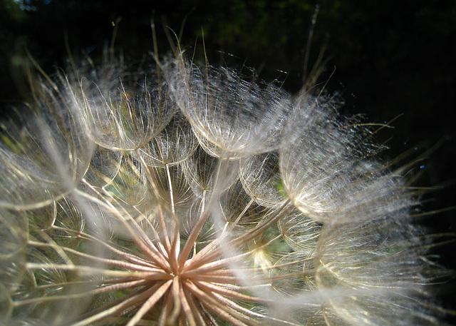 Parachute Seeds (3692)