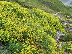 gelber Steinbrechteppich