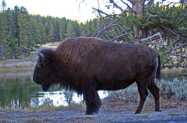 Bison (4335)