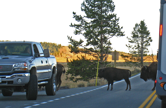Bison Crossing The Road (4336)