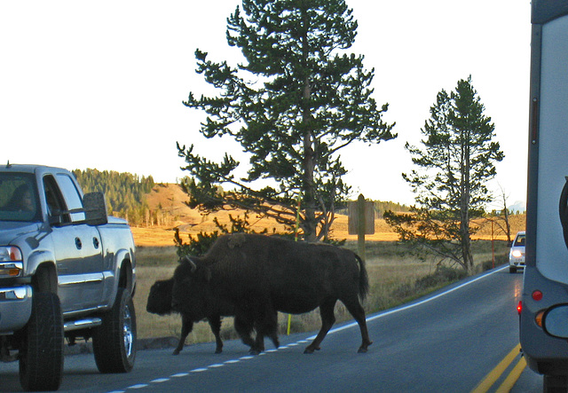 Bison Crossing The Road (4337)