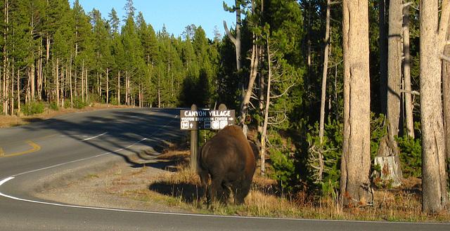 Bison Near Canyon Village (4334)