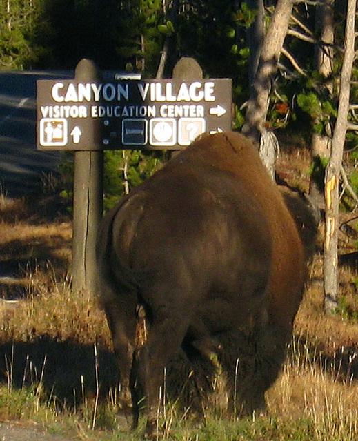 Bison Near Canyon Village (4334A)