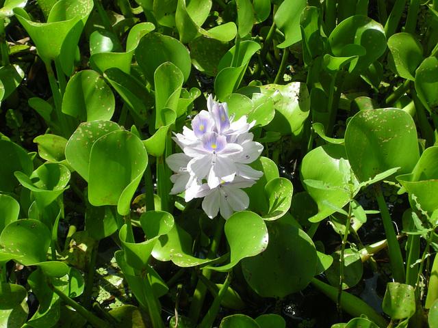 Blütenmeer in den Everglades