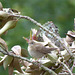 Locustelle tachetée (Locustella naevia)