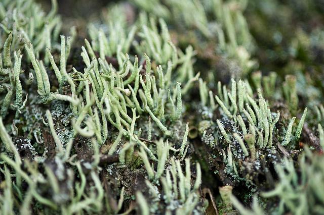 Lichen (germ.: Flechten)