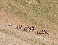 Mouflon - French Alps