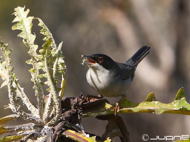 Curruca Cabecinegra, Sylvia melanocephala  (1W)