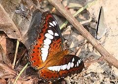 Commander butterfly (Limenitis procris)