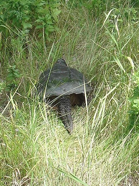 Tortue / Turtle - Sur la route 9 south après Lewis. NY state - États-Unis /  USA.  Juillet 2009