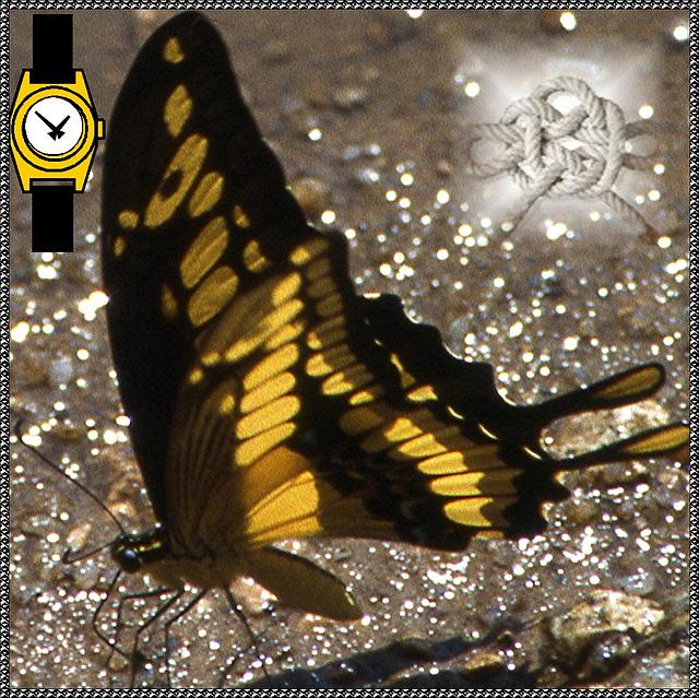 papillon du Venezuela