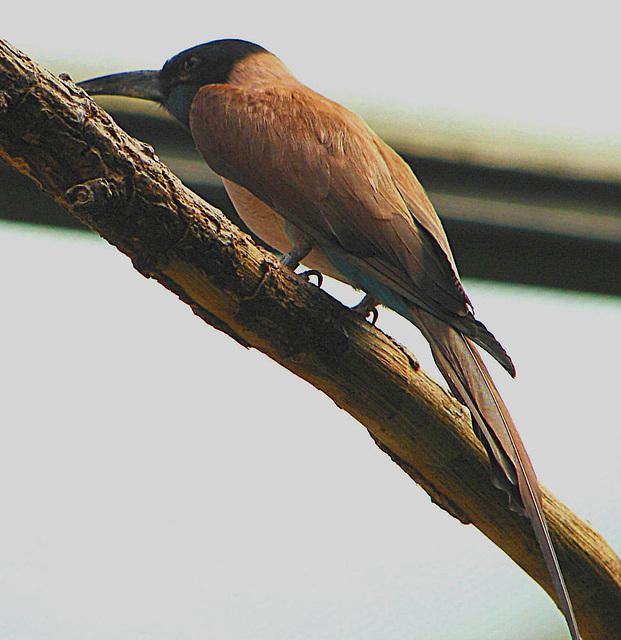 20060509 0260DSCw [D-MS] Eisvogel, Zoo, Münster