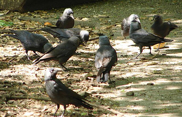 20060509 0270DSCw [D-MS] Dohlen (Corvus monedula), Zoo, Münster
