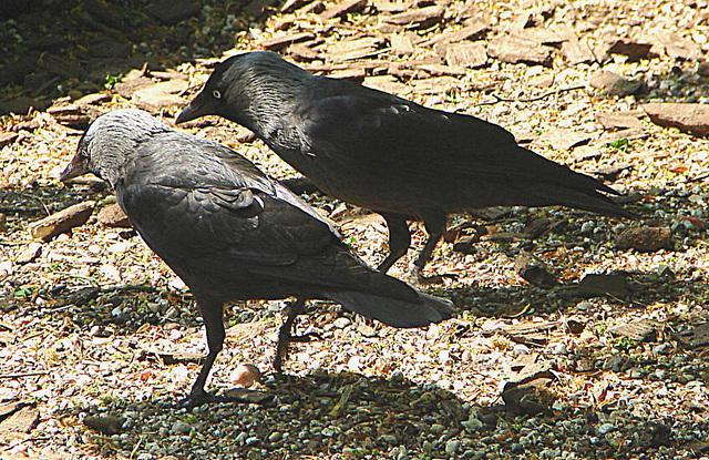 20060509 0273DSCw [D-MS] Dohlen (Corvus monedula), Zoo, Münster
