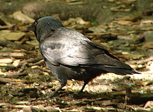 20060509 0271DSCw [D-MS] Dohle (Corvus monedula), Zoo, Münster