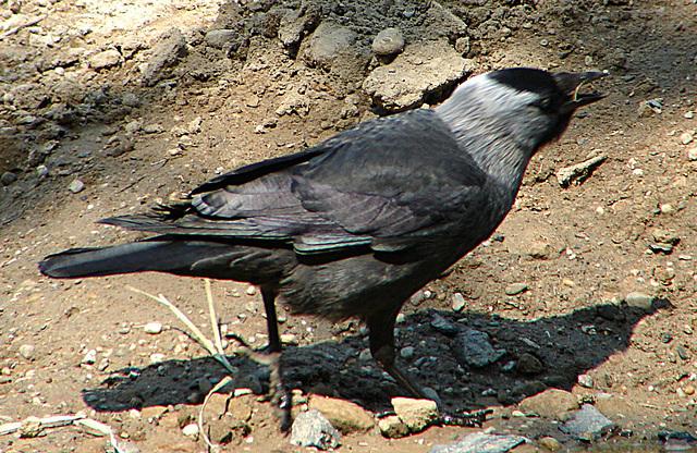 20060509 0276DSCw [D-MS] Dohle (Corvus monedula), Zoo, Münster
