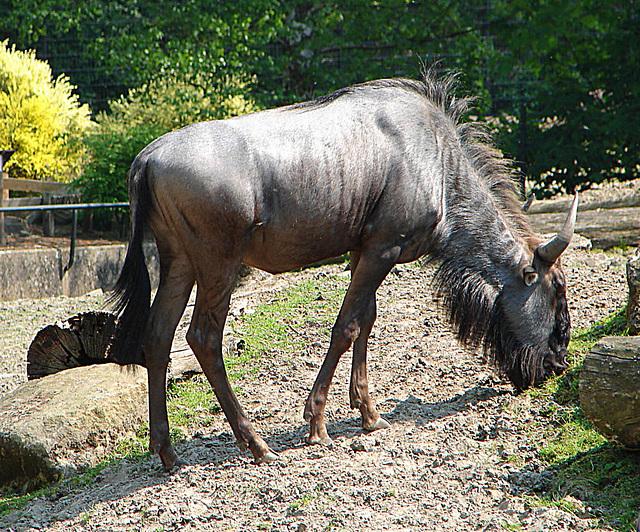 20060509 0281DSCw [D-MS] Weißbart-Gnu (Connochaetes taurinus), Zoo, Münster
