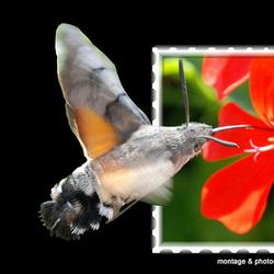 Papillon montage
