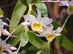 20060303 0148DSCw [D-LIP] Orchidee