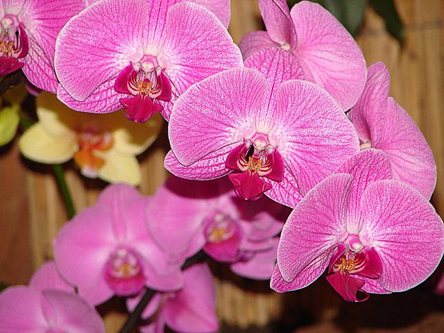 20060303 0149DSCw [D~LIP] Orchidee, Bad Salzuflen: Orchideenschau
