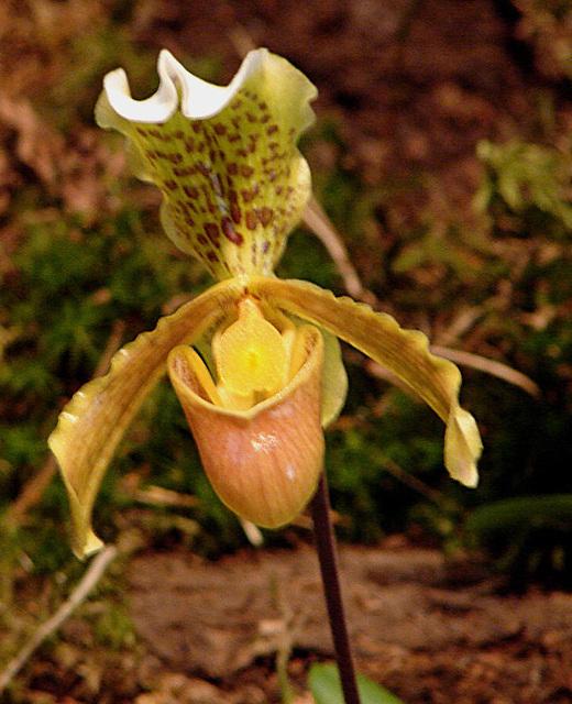 20060303 0151DSCw [D~LIP] Orchidee, Bad Salzuflen: Orchideenschau