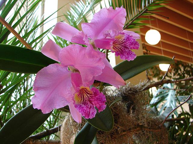 20060303 0152DSCw [D~LIP] Orchidee, Bad Salzuflen: Orchideenschau