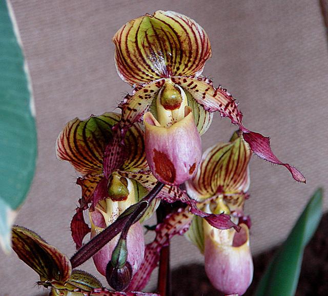 20060303 0153DSCw [D~LIP] Orchidee, Bad Salzuflen: Orchideenschau