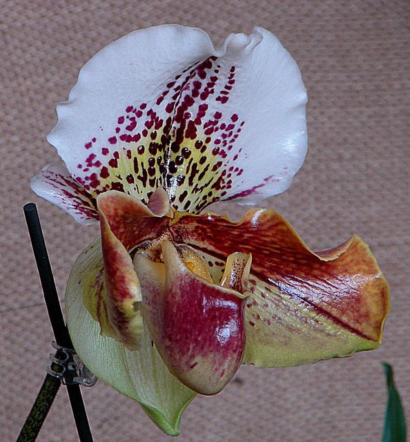 20060303 0154DSCw [D~LIP] Orchidee, Bad Salzuflen: Orchideenschau