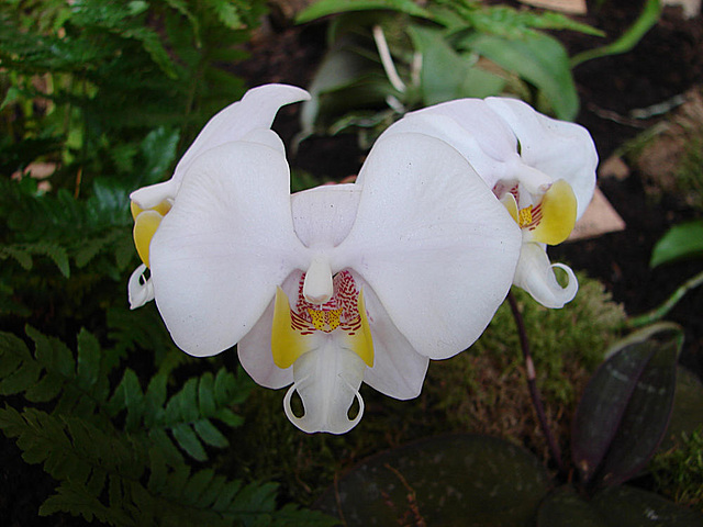 20060303 0155DSCw [D-LIP] Orchidee