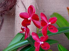 20060303 0156DSCw [D-LIP] Orchidee