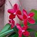 20060303 0156DSCw [D~LIP] Orchidee, Bad Salzuflen: Orchideenschau
