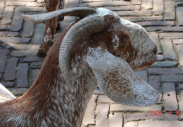 20050818 0009DSCw [NL] Schaf, Emmen