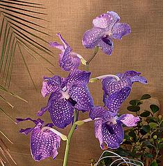 20060303 0162DSCw [D-LIP] Orchidee