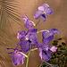 20060303 0162DSCw [D~LIP] Orchidee, Bad Salzuflen: Orchideenschau