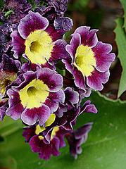 20090504 0030DSCw [D~LIP] Garten-Aurikel (Primula Hortensis-Hybride) + Punktierte Zartschrecke