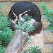 20090618 0513DSCw [D~OS] Brillenkauz (Pulsatrix perspicillata), Osnabrück