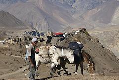 Jarkhot Mustang