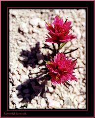 Le Pinceau de Bryce Canyon (Castilleja revealii)