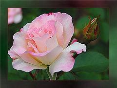 Rose aux pétales d'aube