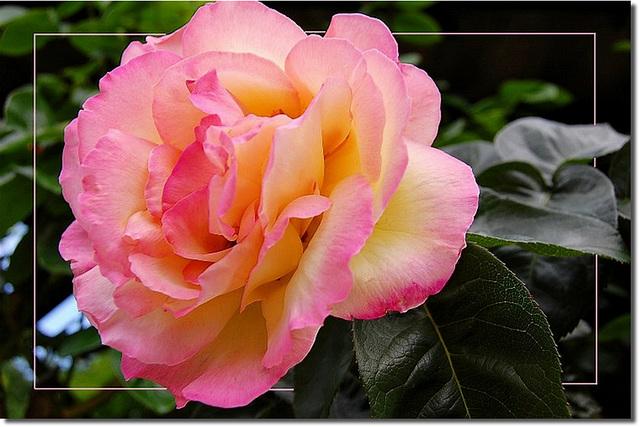 Rose...l'espace d'un matin...