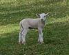 Un agneau...