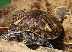 20090618 0533zsw Schildkröte