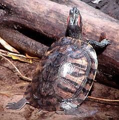 20090618 0534zsw Schildkröte