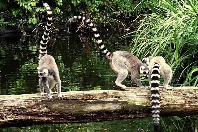 Lemurien mako