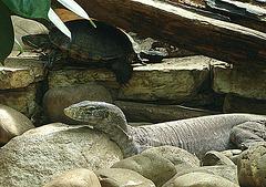 20090618 0581ozsw Leguan Schildkröte
