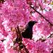 Merle noir qui médite au milieu des fleurs...