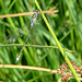 20090625 3982DSCw [D~MI] Binsenjungfer (Lestes sponsa), Großes Torfmoor, Hille