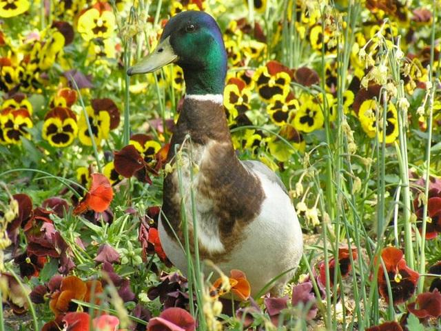 Bonnes pensées autour d'un canard
